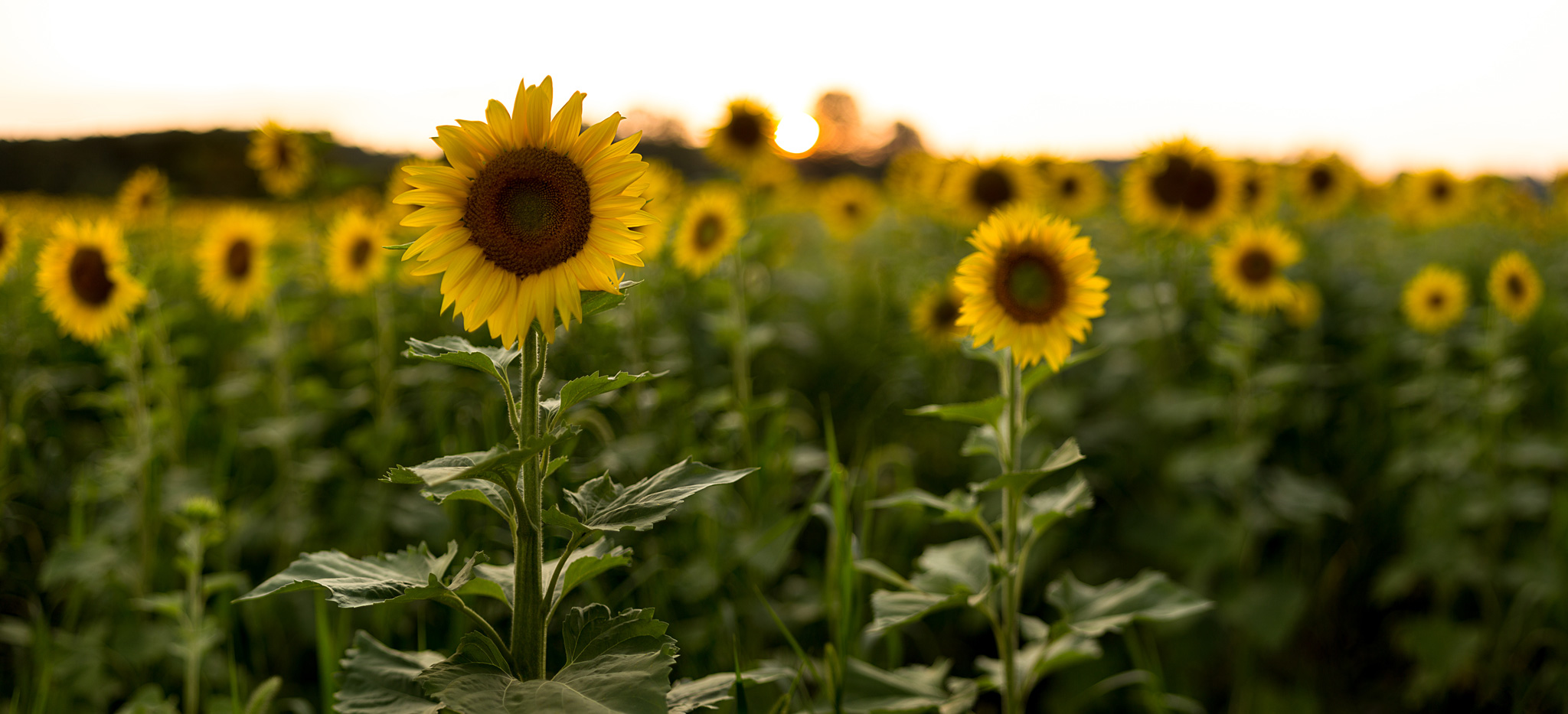 Sussex-sunflowers-2015-17-PSedit-2