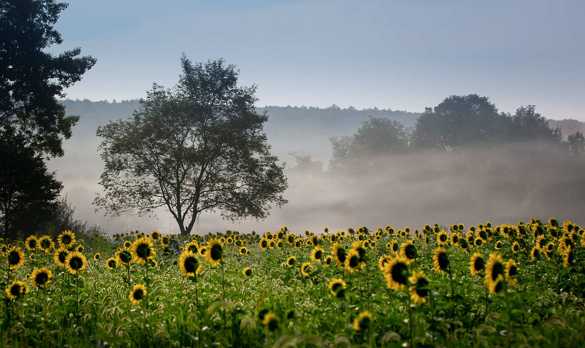 Sussex-sunflowers-2015-220-PSedit-PSedit