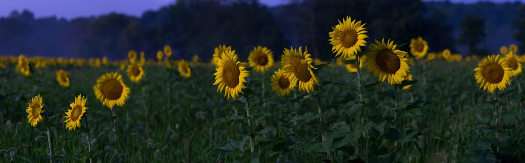 Sussex-sunflowers-2015-228-Pano-PSedit-PSedit-1024x318.jpg