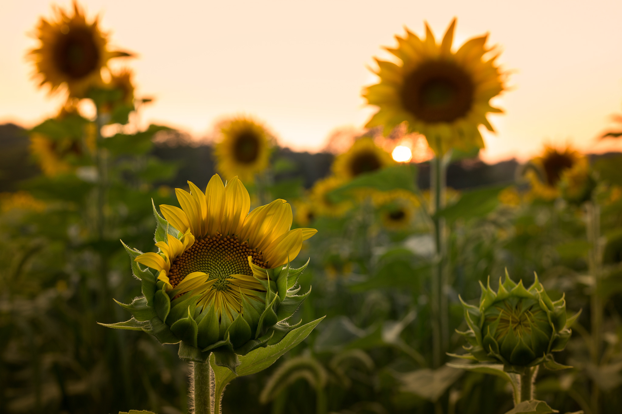 Sussex-sunflowers-2015-48-PSedit