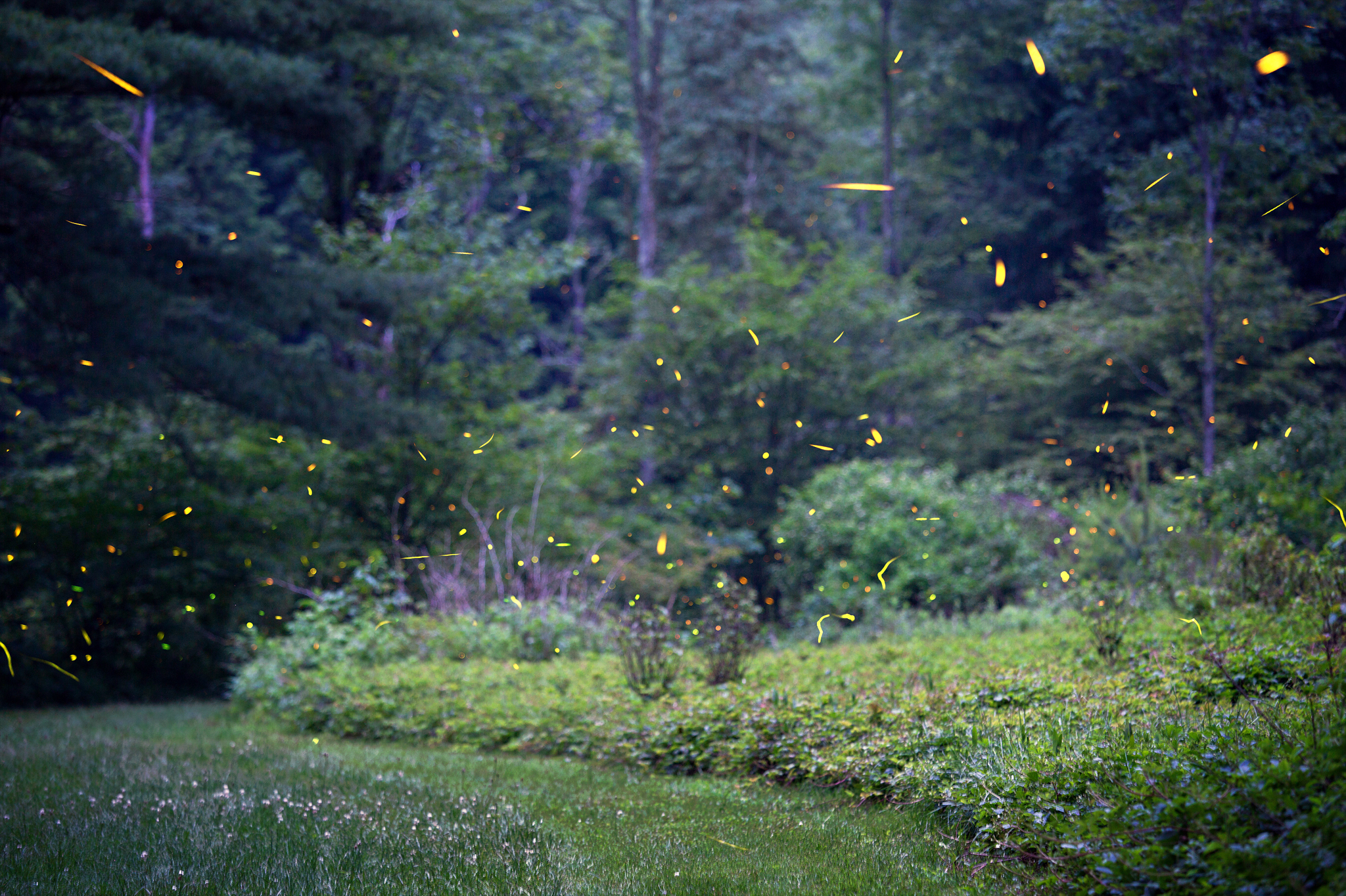 Western Pennsylvania Fireflies