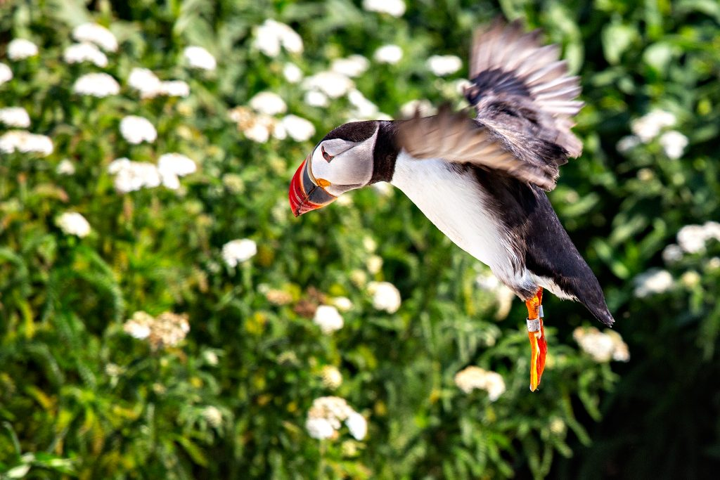 A Puffin comes in for a landing