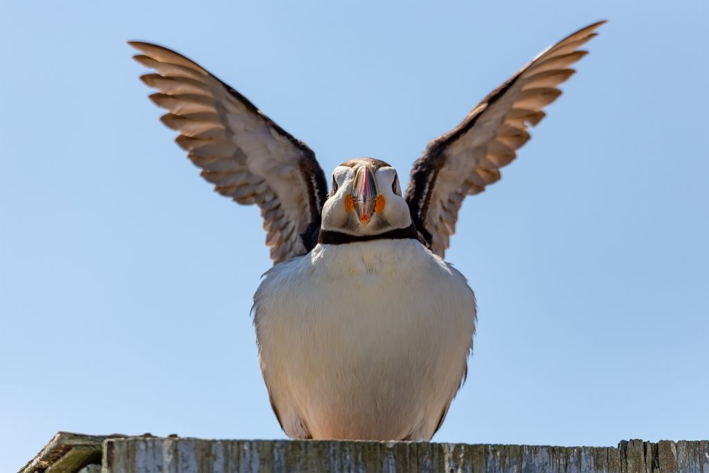 A Puffin gets comfortable atop the wooden bird blind