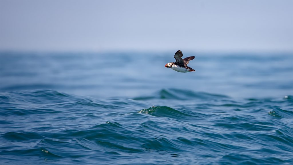 The Last Flight Out. One last Puffin does a flyby on the boat ride back to shore.