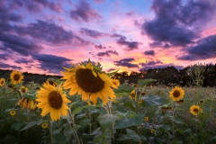 Sunflower-Farm-September-2016-Jason-Gambone-86-PSedit