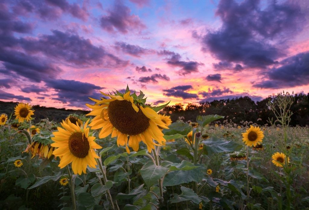 Sunflower-Farm-September-2016-Jason-Gambone-86-1024x697.jpg