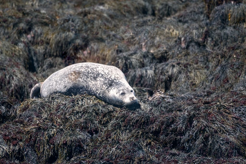 A group of Harbor Seals were resting along a seaweed covered jetty