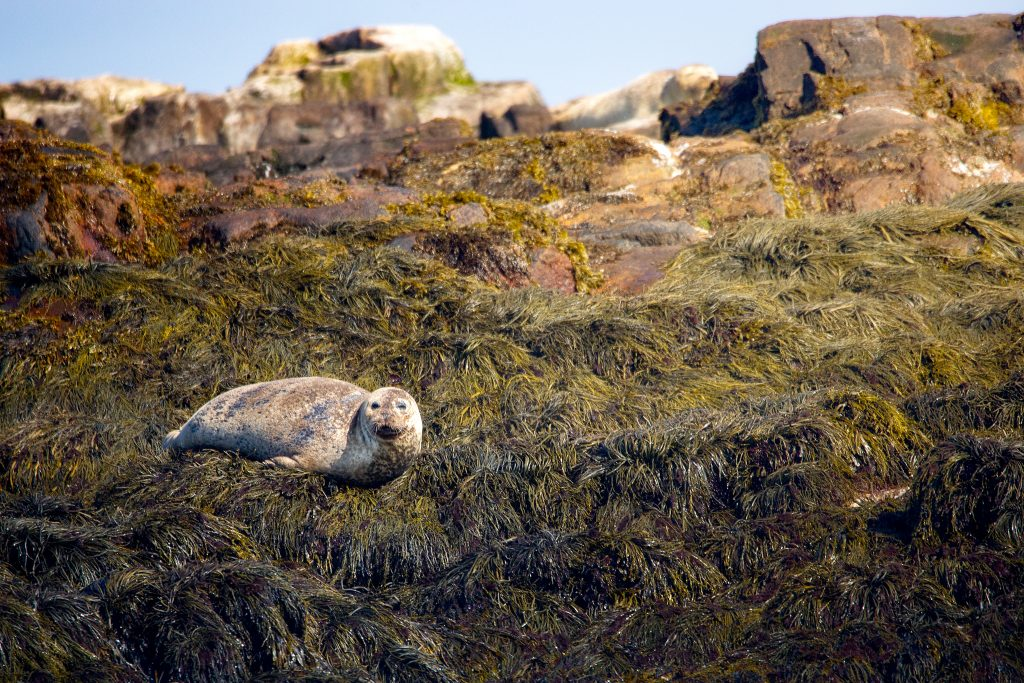 Another Harbor Seal keeps a an eye out, as we pass by.